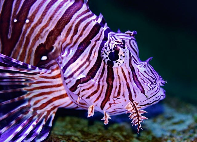 Lion Fish Hunting Specialty