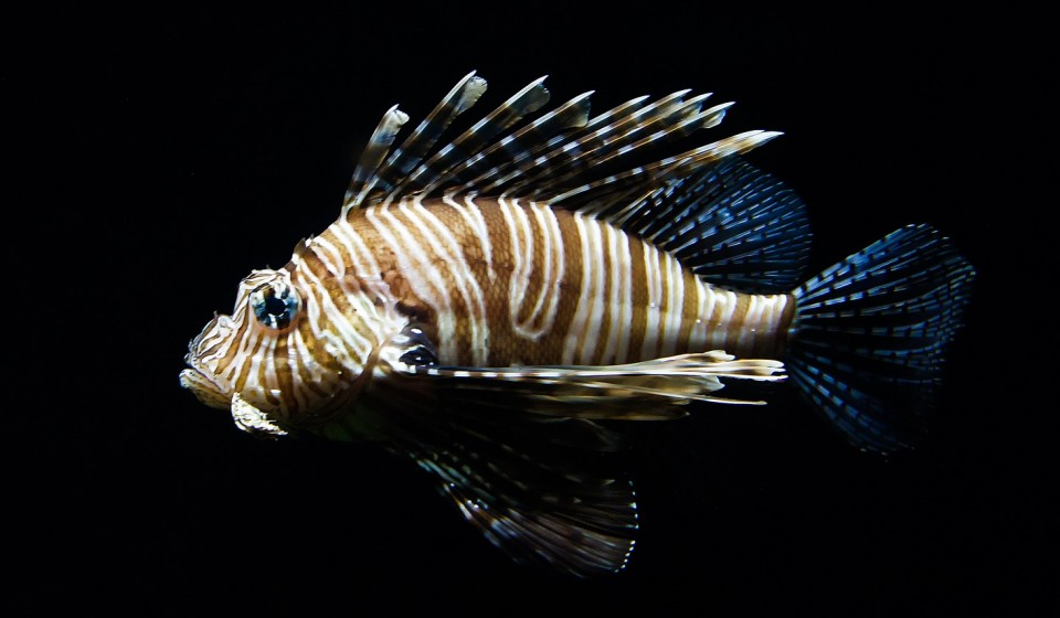 Een Lion Fish Hunting Course